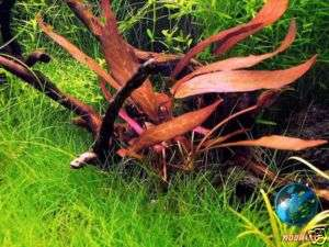 BARCLAYA fern moss java fish tank live aquarium plant