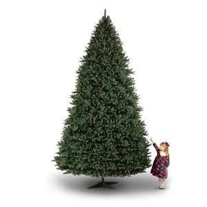 15 Canterbury Fir Christmas Tree
