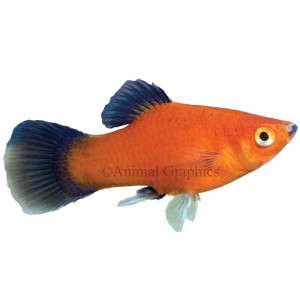 Red Wag Platy   Tropical   Fish   PetSmart