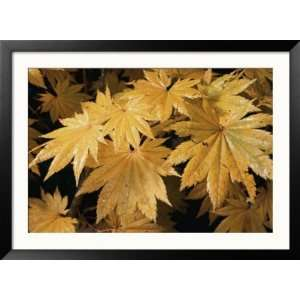 Close Views of Japanese Maple Leaves Framed Photographic