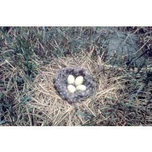 Brant Bird Nest With Eggs Animals Pets Peel And Stick Wall