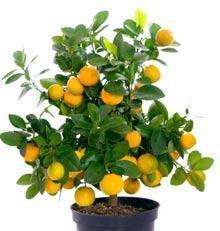 Navel Orange Trees  Indoor Orange Citrus Trees for Sale
